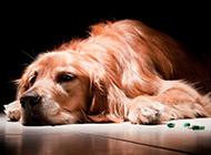 闷闷不乐的纯种金毛寻回犬图片