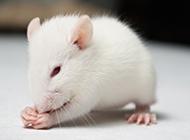 乖巧可爱的小白鼠图片