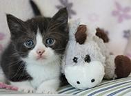 纯种英短猫呆萌幼猫图片