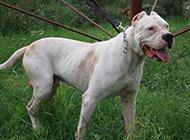 比较凶猛的狗杜高犬图片