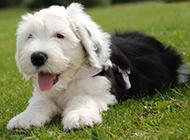 草地吐舌卖萌的幼年古牧犬图片