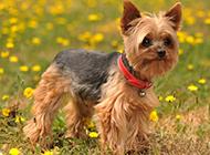 英国约克夏犬可爱高清图片