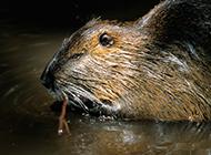 珍贵的黄金海狸鼠图片
