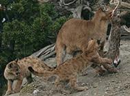 红金猫野外狩猎图片血腥残忍