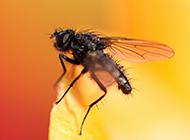 恋爱中的苍蝇精美图片