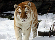 强壮凶猛的老虎写真壁纸