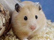 玲珑可爱的仓鼠图片大全