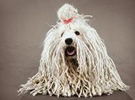 装扮帅气的可蒙犬图片