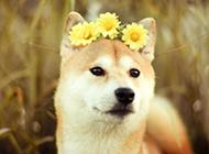 最漂亮日本秋田犬唯美图片壁纸