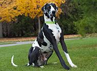 身材高大健壮的美国大丹犬图片