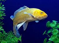 颜色耀眼的黄锦鲤图片