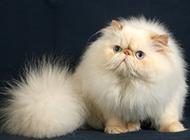 表情丑萌的喜马拉雅种猫图片
