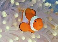 海洋里可爱的小丑鱼高清图片