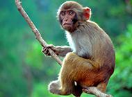 丛林猴子玩耍摄影图片