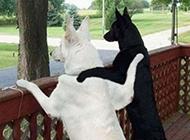 狗狗搞笑图片之一对好基友