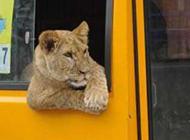 动物恶搞图片之会搭车的狮子