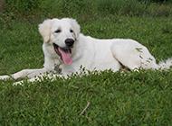 成年大白熊犬懒洋洋图片