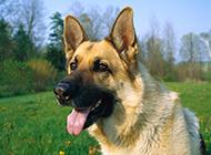高大威猛的狗尖嘴德国牧羊犬图片