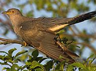 春天布谷鸟叽叽喳喳图片