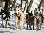 雪地里的阿拉斯加雪橇犬图片