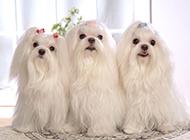 迷你马尔济斯犬优雅清新造型图片