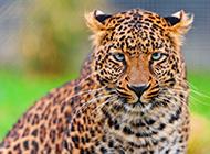 亚洲花豹高清动物图片壁纸特写