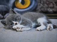 乖巧动人的小英短猫图片