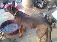 莱州红犬威武背影图片