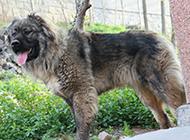 纯种长毛高加索犬图片