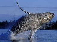可爱鲸鱼海洋特写图片