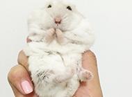 娇小可爱的奶茶仓鼠图片