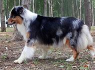 纯种高贵牧羊犬图片