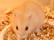 布丁仓鼠吃食物的图片