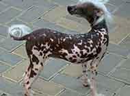 中国冠毛犬唯美图片