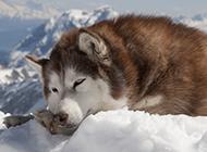 阿拉斯雪橇犬雪地里睡觉图片
