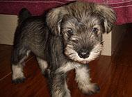 小型雪纳瑞犬可爱外表图片