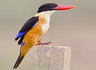 荆棘鸟高昂着头的图片