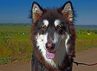 大型阿拉斯加犬图片欣赏