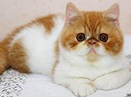 最可爱的纯种波斯猫图片大全