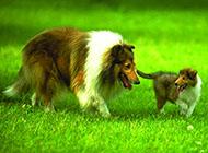 古代机灵牧羊犬图片大全