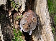 树缝里的田鼠图片大全