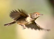 小鸟类图片精选展翅的黄莺