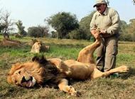 狮子享受足底按摩 表情萌呆了