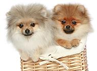 超级可爱的萌宠博美犬图片