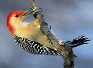 森林医生啄木鸟的高清图片