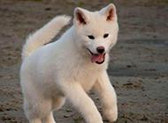 自娱自乐的白色秋田犬图片