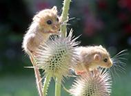 顽皮可爱的榛睡鼠图片