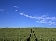 蓝天白云下一望无际的麦田美景