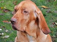 英国寻血猎犬忧郁眼神特写图片