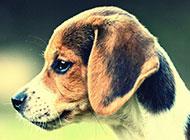 超萌狗狗英国比格犬调皮耍宝图片